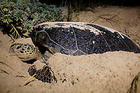 ST. CROIX - AUG 16: A Green Sea Turtle is covered in sand after digging a body pit on East End Bay in St. Croix, U.S. Virgin Islands on August 16, 2008. The turtle may dig a few different body pits before deciding where to finally lay her eggs. When she comes ashore to lay her eggs, it may take hours to find the right spot. Doing turtle research requires a lot of patience.  This photograph was made under the supervision of federally authorized researchers. (Photo by Landon Nordeman).