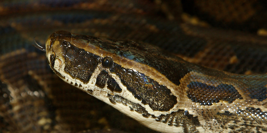 The Burmese Python (Python molurus bivittatus) is the largest subspecies of the Indian Python and one of the 6 largest snakes in the world.
