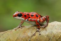 .Strawberry Poison Frog (Dendrobates pumilio), adult, Bastimentos National Park, Bocas del Toro, Panama