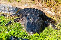 US, Florida, Everglades. Anhinga Trail Boardwalk. American alligator.