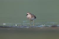 Least Sandpiper (Calidris minutilla), East Pond, Jamaica Bay Wildlife Refuge
