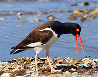 Adult American oystercatcher displaying in March