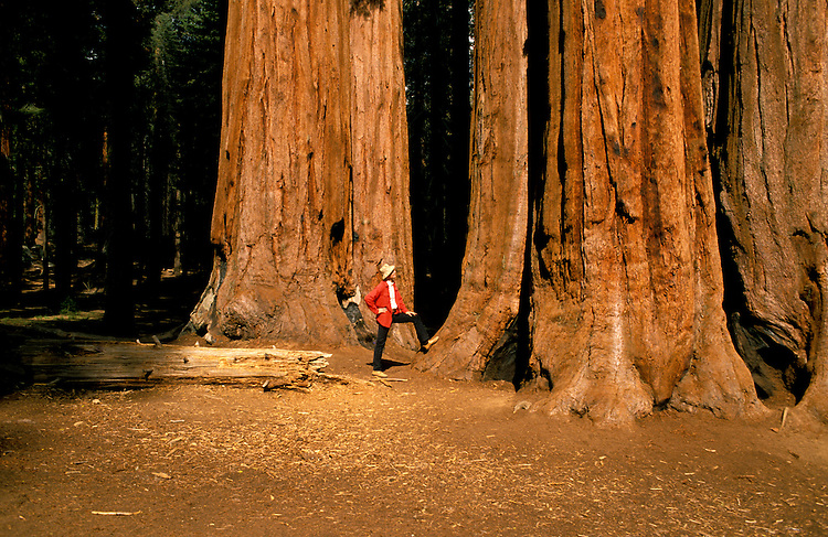 CA: Sequoia-Kings Canyon National Park, Inland redwood tree, model released, catree102   .Photo copyright Lee Foster, 510/549-2202, lee@fostertravel.com, www.fostertravel.com