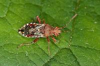 Hellbraune Glasflügelwanze, Glasflügel-Wanze, Rhopalus subrufus, Glasflügelwanzen, Rhopalidae, Scentless plant bugs