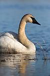 Trumpeter swan - Crex Meadows