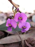 False Sasparilla- Hardenbergia violacea