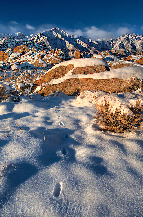 711700260 a winter storm in the alabama hills blankets the granite boulders and desert brush with a rare layer of brilliant white snow preserving wild animal tracks at sunrise in the eastern sierras of central california with mount whitney mount russell mount langley and lond pine peak in the distant background