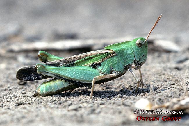 Creosote Bush Grasshopper