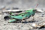 Creosote Bush Grasshopper