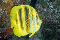Rainford's Butterflyfish, Chaetodon rainfordi, Lord Howe Island, Australia, Tasman Sea, Pacific Ocean