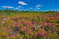 Bog laurel (Kalmia sp) blossoms in burnt over forest<br />Chibougameau<br />Quebec<br />Canada