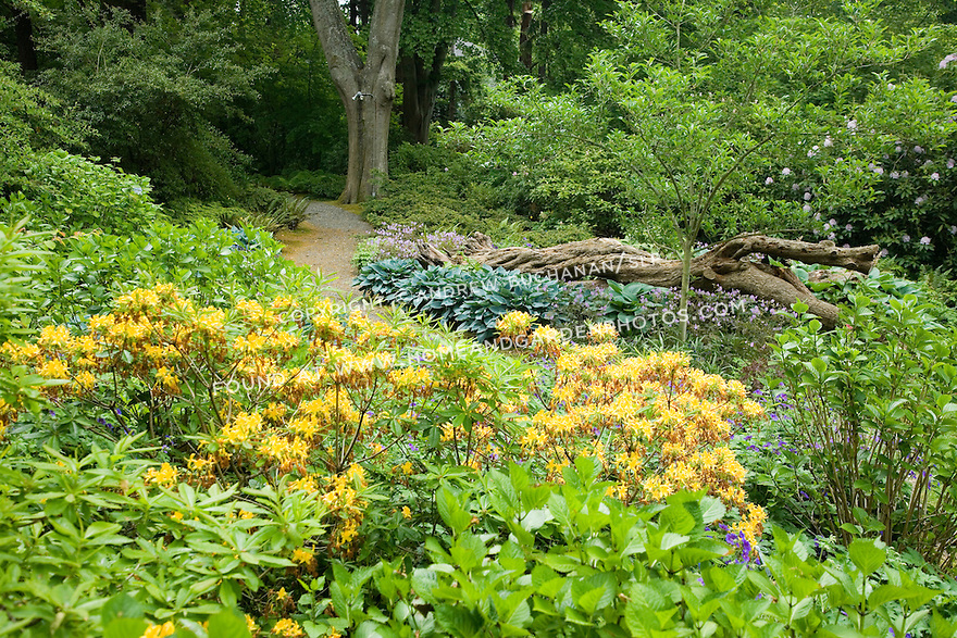 Hostas, 'Johnson's Blue' geraniums, hydrangeas, assorted rhodies and azaleas, and other woodland plants mix in this border along a curving path at the Dunn Gardens, a former private estate near Seattle now run as a woodland botanical garden and available for touring by appointment and fee.