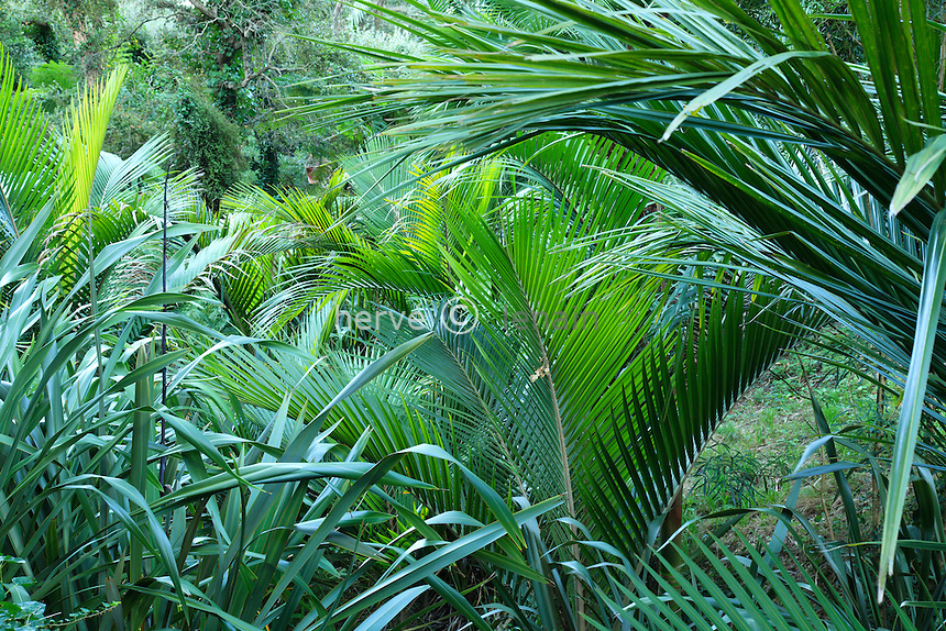 Domaine du Rayol en novembre : le jardin de Nouvelle-Zélande, dans le vallon le long du ruisseau pousse des palmiers de Nikau ou palmiers blaireau (Rhopalostylis sapida) et du lin de Nouvelle-Zélande (Phormium tenax).