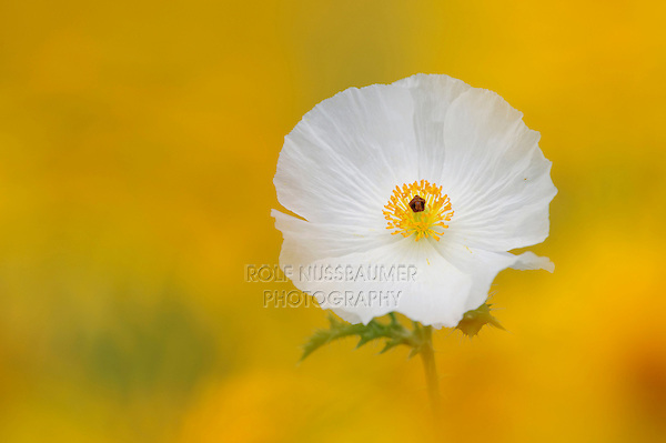 White Prickly Poppy (Argemone albiflora), blossom in wildflower field, Fennessey Ranch, Refugio, Coastal Bend, Texas, USA