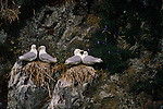 Two pairs of black-legged kittiwakes sit on their nests on the rocks of the Prince William Sound.