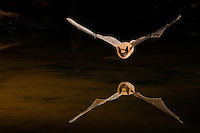 A big brown bat flies low over a desert pond.