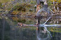 Beaver (Castor canadensis) slapping its tail as a warning to other beaver that an intruder is about.  Western North America, fall.