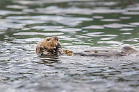 Sea otter eats urchins in Captains bay, Dutch Harbor, Aleutian Islands, Alaska