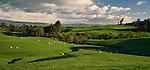 Sheep grazing on rolling farmland near Napier. Hawkes Bay Region. New Zealand.