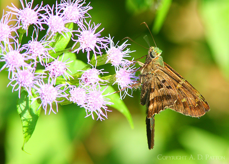 Lon-tailed skipper