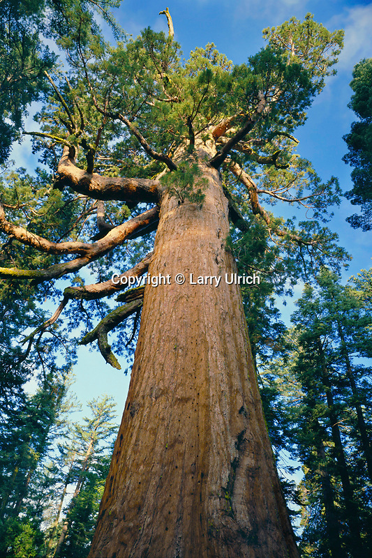 Grizzly Giant giant sequoia<br /> Mariposa Grove<br /> Yosemite National Park<br /> Sierra Nevada,  California