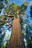 Grizzly Giant giant sequoia<br />