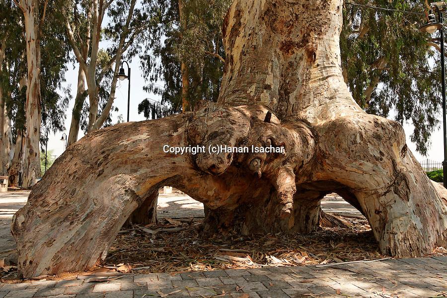 Israel, Sharon region. Eucalyptus tree in Or Akiva