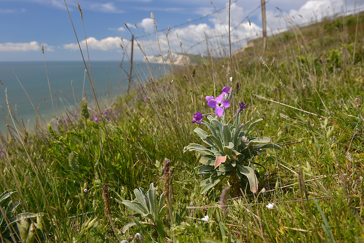Hoary Stock - Matthiola incana (Brassicaceae) - on the cliffs of the Isle of Wight. Height to 80cm. Downy, greyish annual or perennial with a woody base to the stem. Associated with sea cliffs. FLOWERS are fragrant and 25-50mm across, with 4 white to purple petals (Apr-Jul). FRUITS are cylindrical pods up to 13cm long. LEAVES are narrow and untoothed. STATUS-Scarce and doubtfully native although possibly so in S England and S Wales.