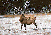 Elk in snow in Yellowstone National Park Wyoming
