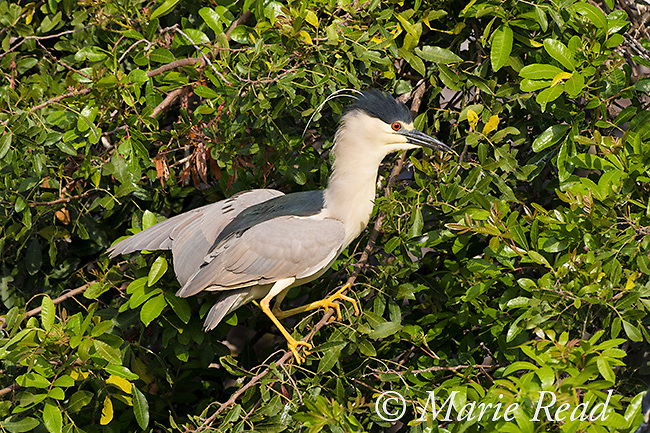 Black-crowned Night-Heron (Nycticorax nycticorax) in alert pose, reacting to proximity of a same-species individual (out of sight) near nest site, Venice, Florida, USA