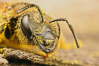 Solitary Bee covered in pollen
