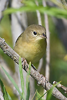 Common Yellowthroat perched on a branch