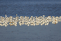 Raft of avocets in Poole Harbour. Dorset, UK.
