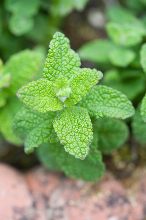 Apple mint (Mentha suaveolens), late May.