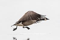 00748-05719 Canada Goose (Branta canadensis) in flight, Marion County, IL