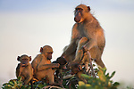 Chacma baboons, Papio cynocephalus ursinus, socialising at dusk, Kruger National Park, Mpumalanga, South Africa