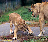 MA39-018z  African Lions - playing - Panthera leo