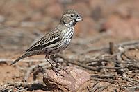 Lark Bunting - Calamospiza melanocorys - non-breeding male