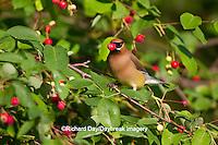 01415-03018 Cedar Waxwing (Bombycilla cedrorum) eating berry in Serviceberry Bush (Amelanchier canadensis), Marion Co., IL