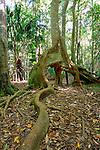 Strangler Fig, Katandra Reserve, NSW