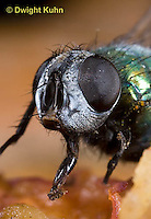 1F10-501z  Green Bottle Fly close-up of face, compound eyes, lapping tongue, eating pumpkin fruit, Lucilia sericata