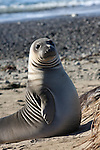 Weaner elephant seal sitting tall