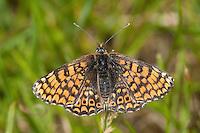 Wegerich-Scheckenfalter, Gemeiner Scheckenfalter, Melitaea cinxia, Mellicta cinxia, Glanville Fritillary