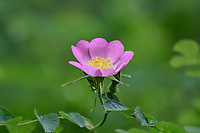 Wild Rose or Nootka Rose (Rosa nutkana).  Common wildflower of Pacific Northwest.  May-June.