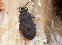 Flat Bug; Mezira sp.; under bark of Tulip-poplar snag; PA, Philadelphia, Wissahickon Park