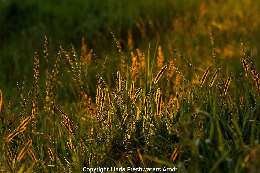 Backlit meadow foxtail