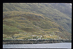 Irish Sheep herd along Killary River, Ireland's only fjord in the Connermara Region of County Galway