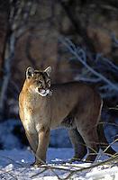 Sunlit Mt. Lion  #C1