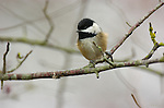 Black-capped Chickadee Reifel Sanctuary Vancouver BC