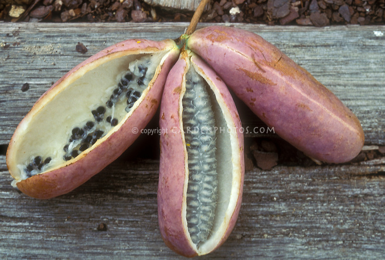 Akepia quinata, cut open fruit showing seeds and interior